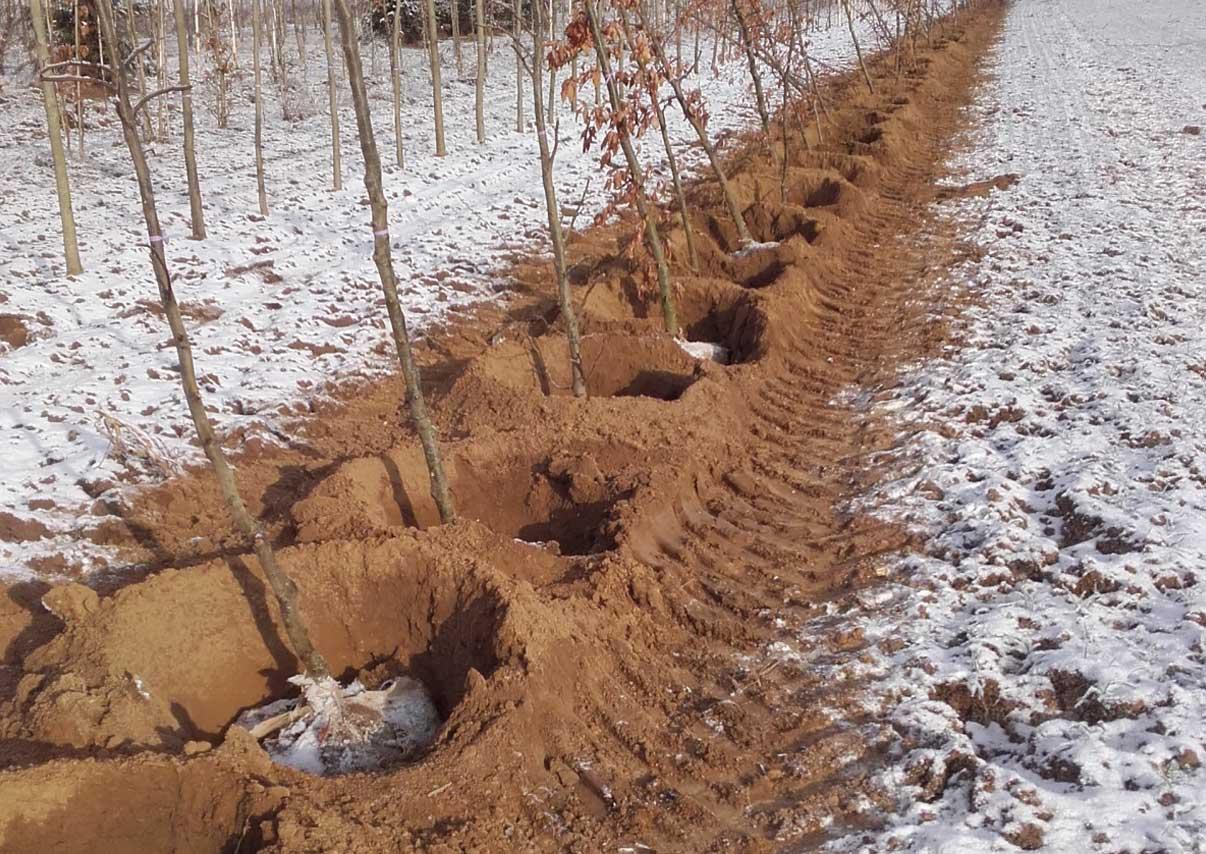 Transplantation des arbres