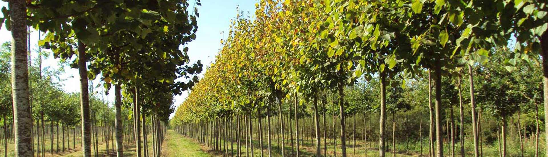 chênes, tilleuls, sophoras, acacia